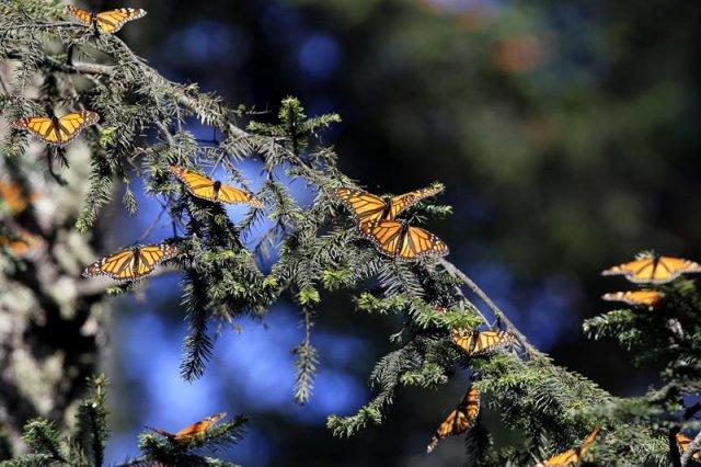 mariposa_monarca