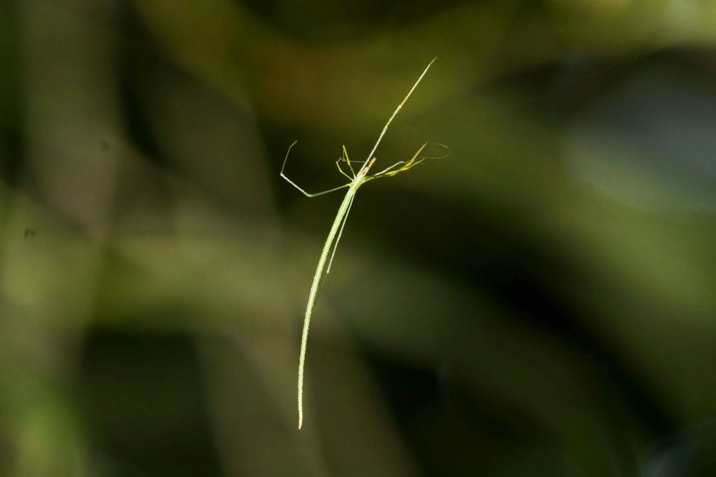 Araña rama palo  Ariamnes flagellum