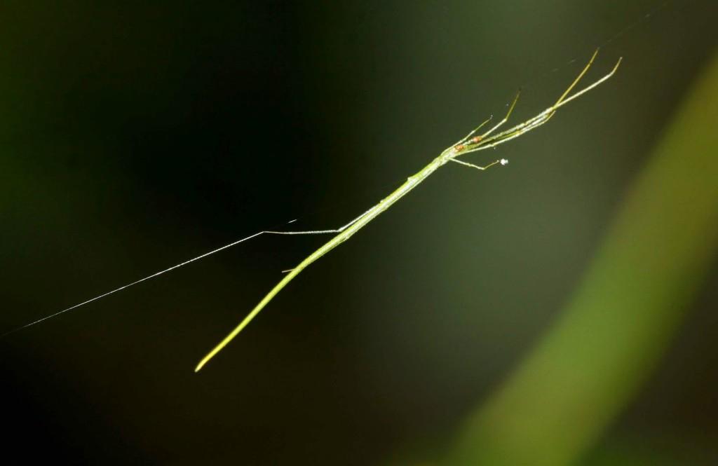 Araña rama palo  Ariamnes flagellum 2