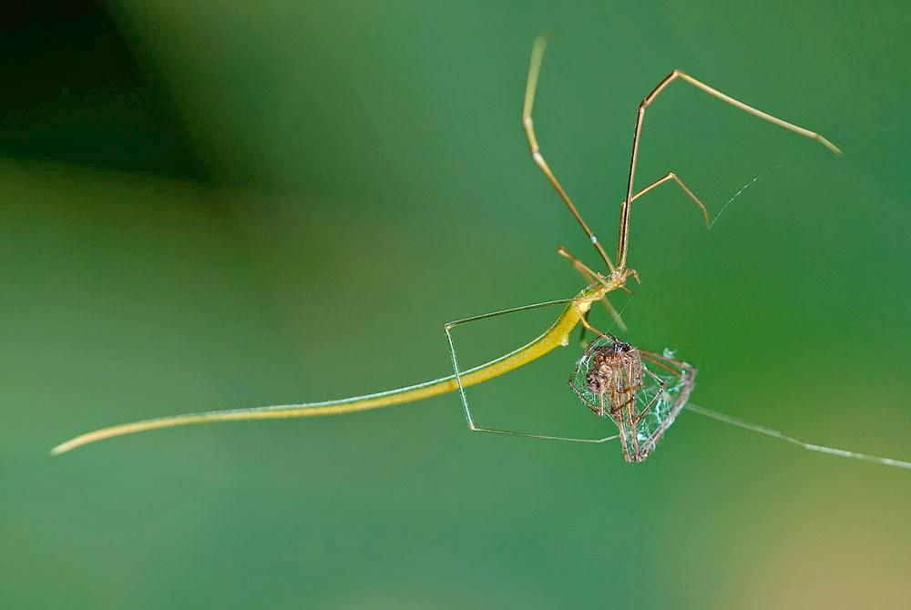 Araña rama palo Hembra de Ariamnes flagellum capturando un ejemplar de Tylorida ventralis