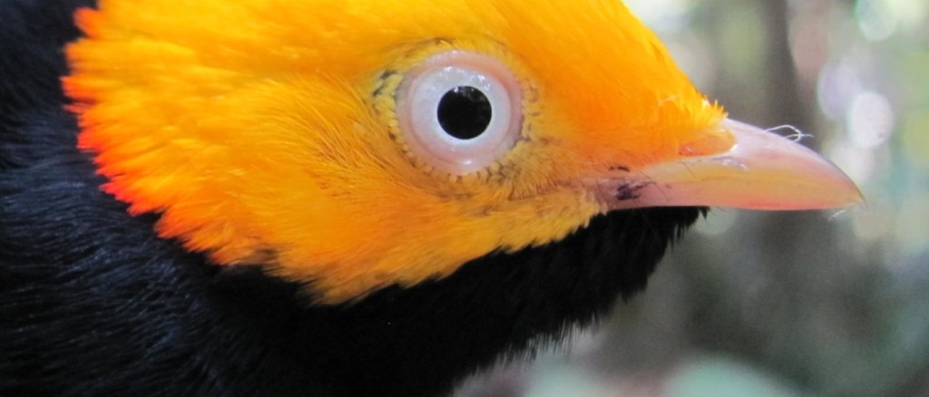 banner_Golden-headed_Manakin