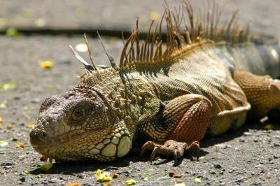 iguanas_efe
