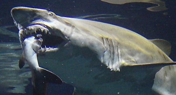 tiburonataca