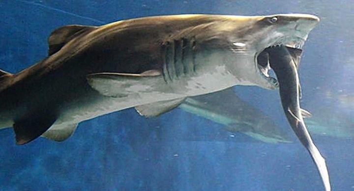 tiburonataca2