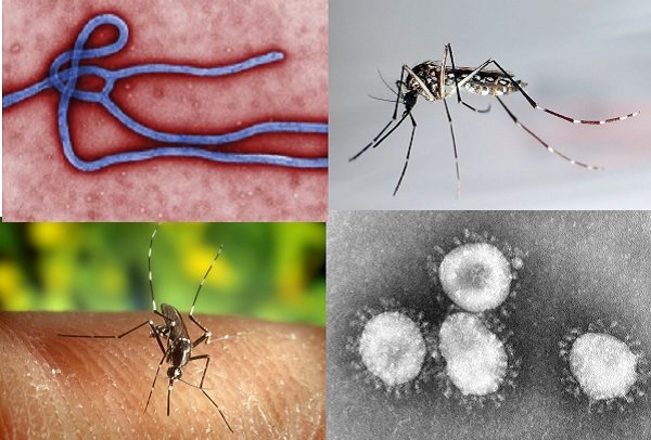 Virus del ébola (arriba izda), mosquito transmisor del dengue (arriba dcha), mosquito transmisor de malaria (abajo izda) y virus del coronavirus (abajo dcha) Foto: Agencia EFE